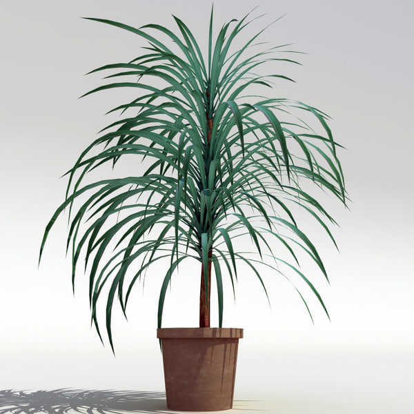 dracaena marginata v2 3d max. Black Bedroom Furniture Sets. Home Design Ideas