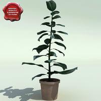 3d model ficus benghalensis v2