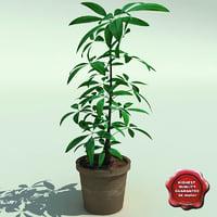 sheflera actinophylla v2 3d model