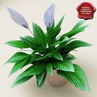 3d model spathiphyllum petite
