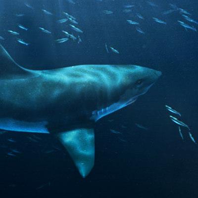 requin.jpg