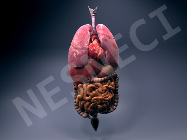InternalOrgans_Textured_TurboSquid_render.png