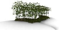 cocan trees