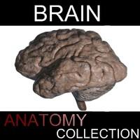 3d brain organic