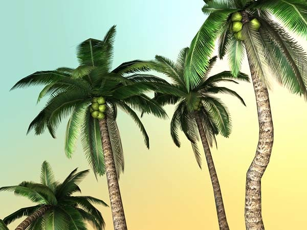 free obj mode palm trees - Tropical palm... by killst4r