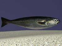 coalfish fish 3d model