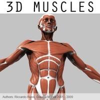 3d model muscular external muscles