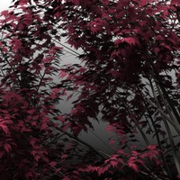 3d model red maple trees