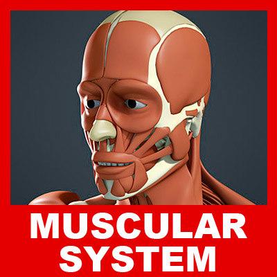 3d medically muscular skeleton model