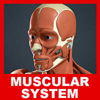 Muscular system and Skeleton (No Textures)