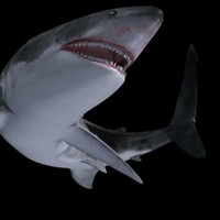 3d model shark animation