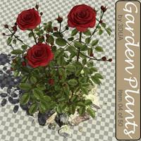 004_rose