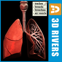 Lungs by 3DRivers