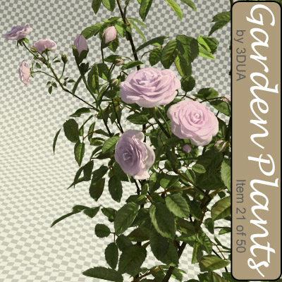 003_rose_bush01.jpg