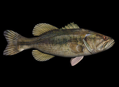 Largemouth Bass.jpg