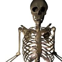 human skeleton max