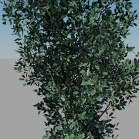 ficus benjamina trees f max