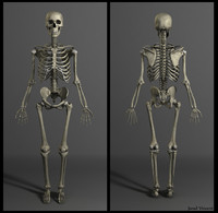 muscles skeleton 3d obj