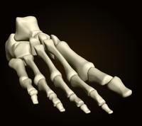 foot_bones