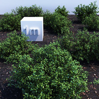 Holly shrubs collection 1
