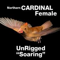 cardinal - female: soaring 3d model