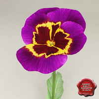Pansy Purple