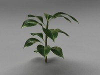 3d model of rubber plant