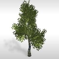 Birch Tree 3