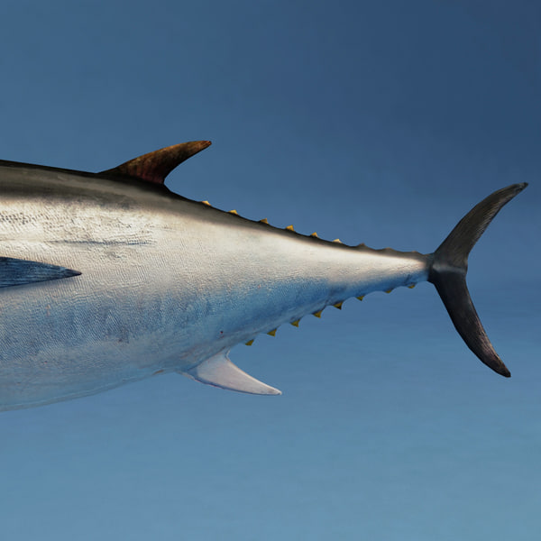 tuna modelled 3d model - Tuna... by 3d_molier