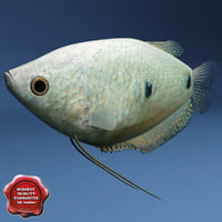 gourami modelled 3d model