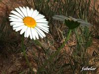 daisies grass terrain 3d max