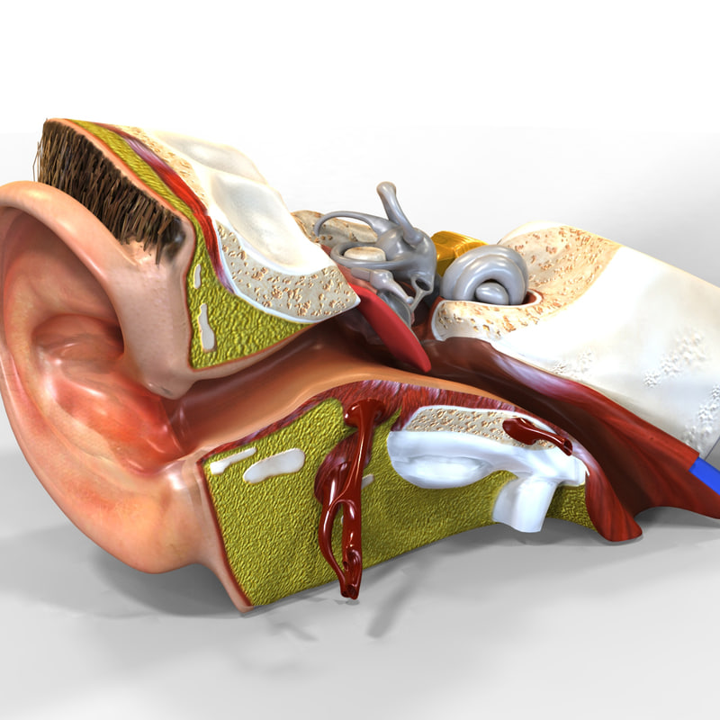 EarAnatomy.1.jpg