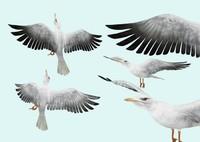 seagull 3d model