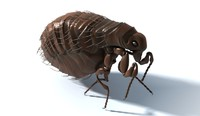 Common Flea 3D Model.