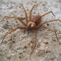 brown recluse spider 3d model