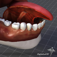 human tongue anatomy muscle 3d 3ds