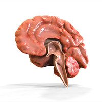 human brain anatomy 3d model