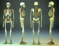 human skeleton 3ds