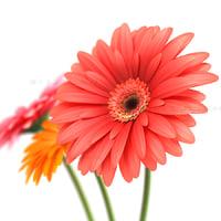 Flowers gerbera 1