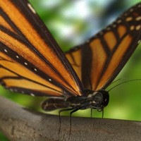 3d model realistic monarch butterfly