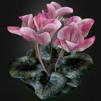 Plant Cyclamen