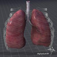 3d human lungs external