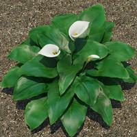 Plant Calla Lily