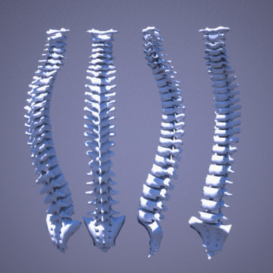 human bones 3d model - human spine... by Lajogema