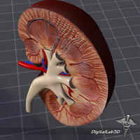 human kidney anatomy organs 3d model