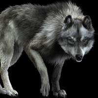 photorealistic wolf canis animation 3d model