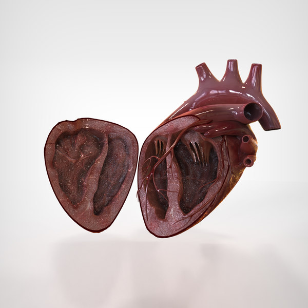 3d human heart anatomy