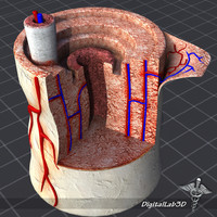 human bone anatomy 3d model