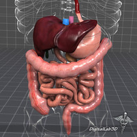 digestive systems organism 3d model