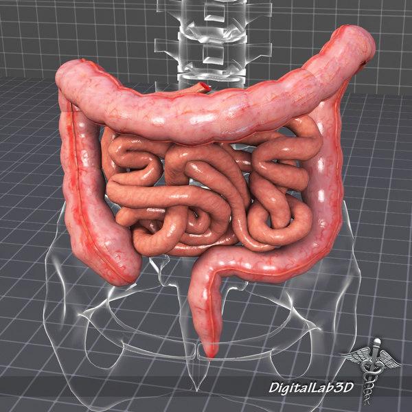 human large small intestines 3d max